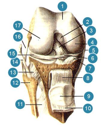 Коленный сустав (articulartio genus), правая нога