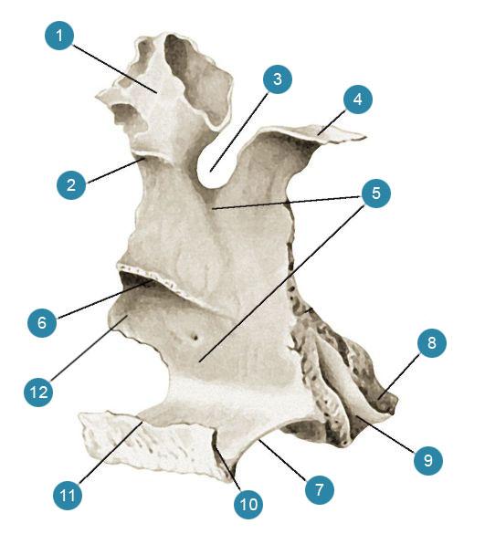Небная кость (os palatium)  Вид с медиальной стороны