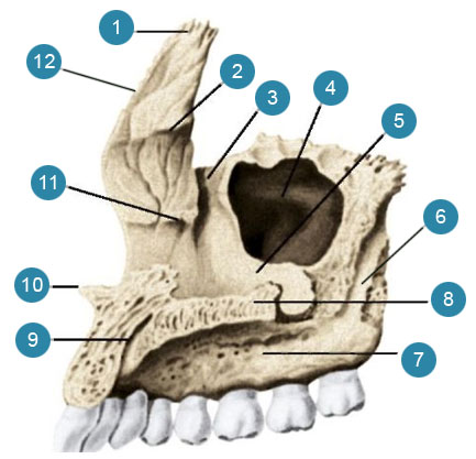 Верхняя челюсть (верхнечелюстная кость-maxilla), правая Вид с внутренней стороны