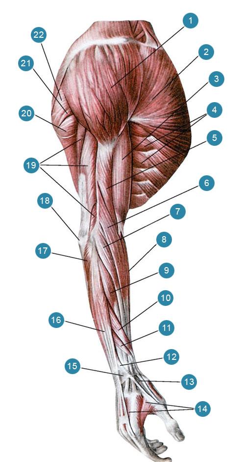 Мышцы верхней конечности, правой