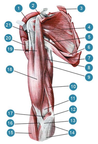 Мышцы плечевого пояса и плеча, правого