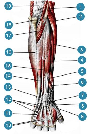 Мышцы предплечья и кисти