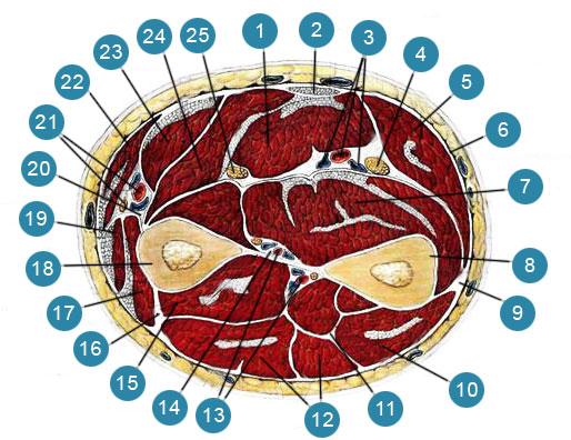 Мышцы и фасции предплечья на поперечном его разрезе