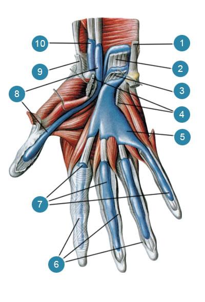 Синовиальные влагалища сухожилий мышц кисти (vaginae synoviales tendinum), ладонная сторона