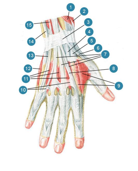 Мышцы и сухожилия кисти, правой. Тыльная сторона