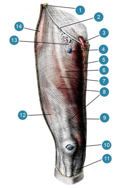 Мышцы и фасции бедра, правого