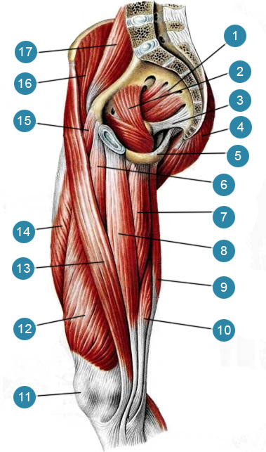 Мышцы бедра, правого