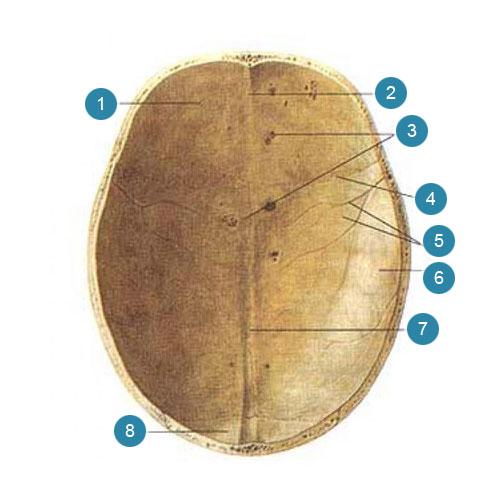 Крыша (свод) черепа (fornix cranii, s. calvaria)  Вид со стороны полости черепа
