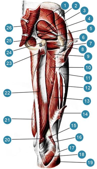 Глубокие мышцы бедра, правого