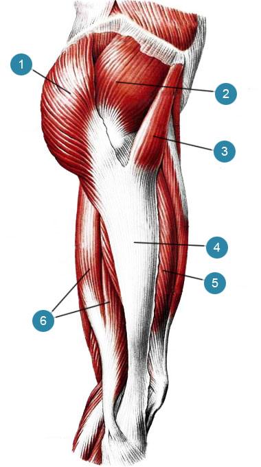 Мышца широкая фото