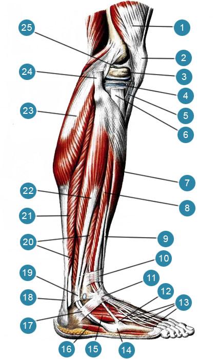 Мышцы голени, правой