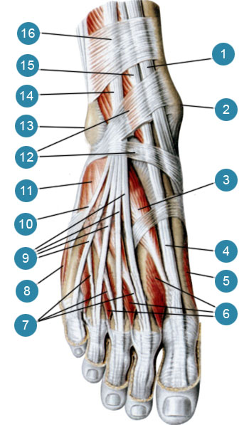 Мышцы тыльной стороны стопы, правой
