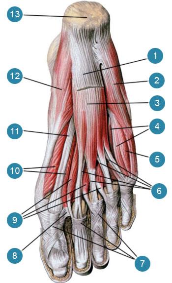 Мышцы стопы, правой