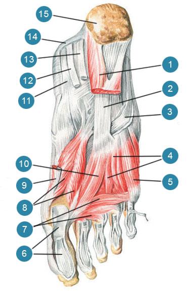 Глубокие мышцы подошвенной стороны стопы, правой