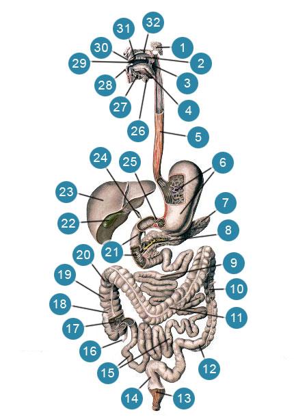Схема строения пищеварительной системы