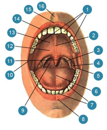 Полость рта (cavum oris) и зев (fauces)