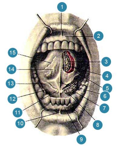 Полость рта (cavumoris)