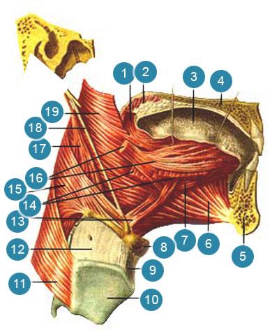 Мышцы языка (musculi linguae)