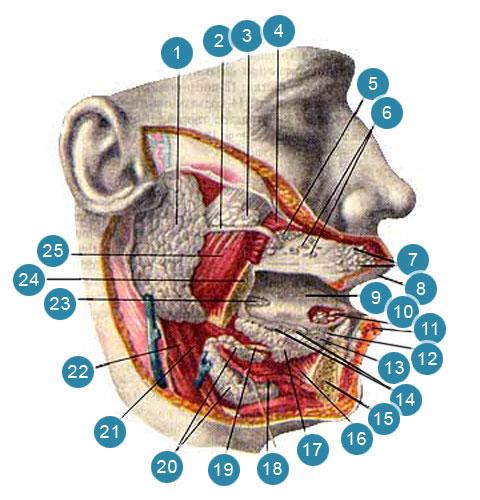 Железы преддверия (glandulae veslibuli) и полости рта