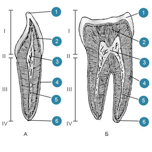 Строение зубов на разрезе