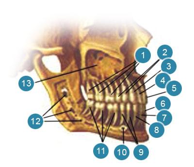 Зубы (denies) верхней и нижней челюстей у взрослого человека. Правая сторона