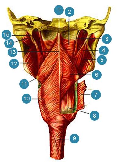 Мышцы глотки (musculi pharingis)