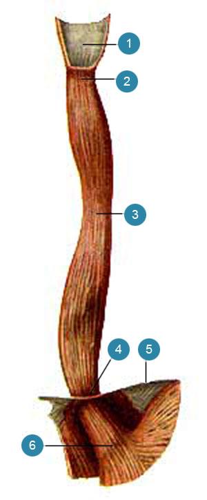 Пищевод (esophagus)