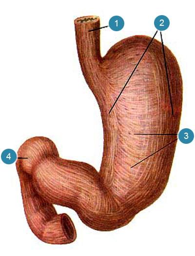 Мышечная оболочка (tunica muscularis) желудка и двенадцатиперстной кишки