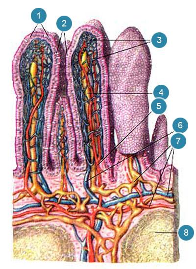 Ворсинки тонкой кишки (villi intestinales)