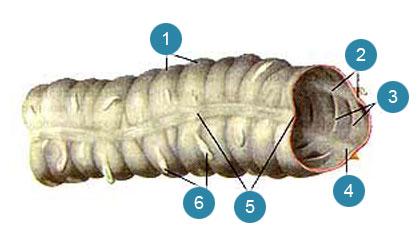 Толстая кишка (intestinum crassum)