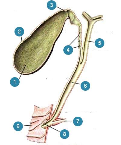 Желчный пузырь (vesica fel-lea) и желчные протоки (ducti biliferi)