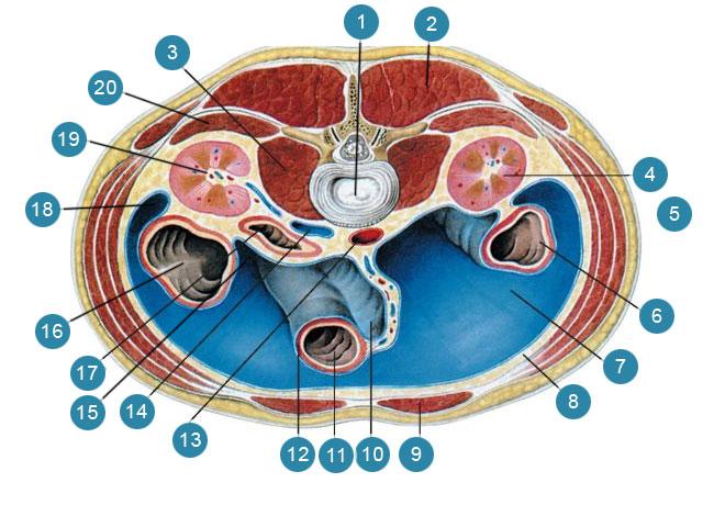 Органы брюшной полости на горизонтальном разрезе туловища на уровне между телами II и III поясничных позвонков
