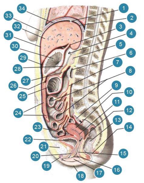 Топография внутренних органов и брюшины в брюшной полости женщины