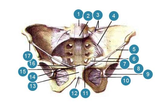 Соединения и связки женского таза