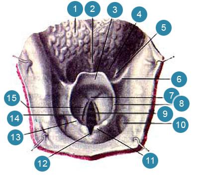 Вход в гортань (aditis laryngis)