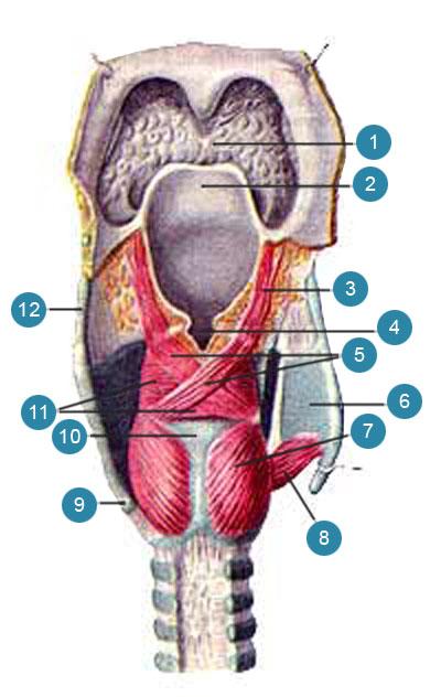 Мышцы гортани (musculi laryngis)