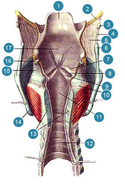 Полость гортани (cavum laryngis)