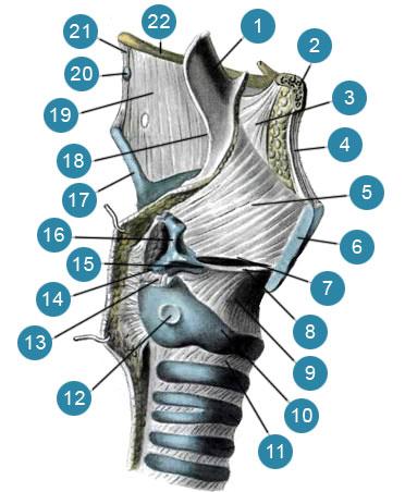 Эластический конус (conus elasticus) и четырехугольная мембрана (membrana quadrangularis) гортани
