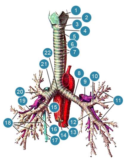 Трахея (trachea) и бронхи (bronhi)