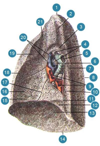 Правое легкое (pulmo dexter)