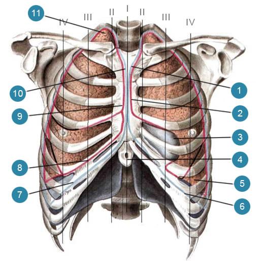 Проекция границ легких и плевры на скелет передней грудной стенки