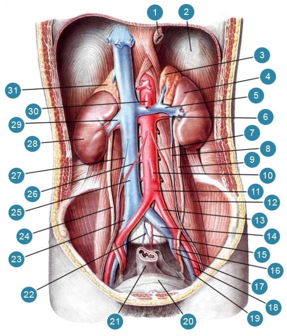 Мочевые органы (organa urinaria) в брюшной полости