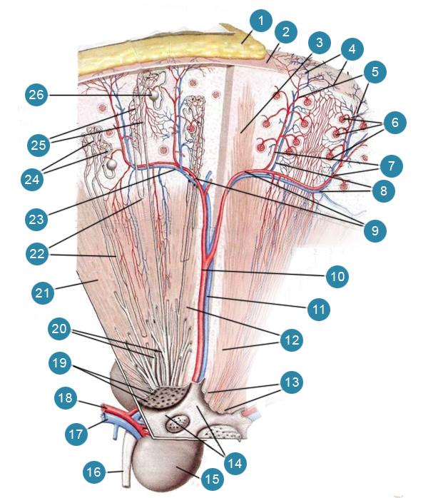 Мочевые канальцы и кровеносные сосуды в почке