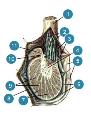 Яичко (testis) и придаток яичка (epididy-mus) на продольном разрезе