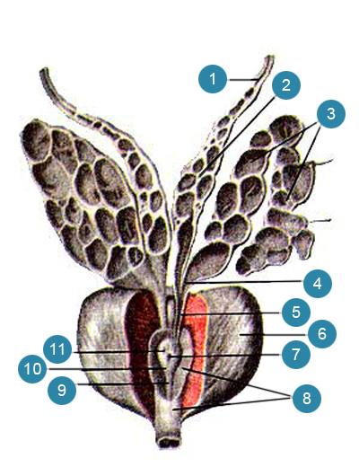 Предстательная железа (prostata), семенные пузырьки (vesiculae seminales) и семявыносяшие протоки (ductus deierentis) вскрыты