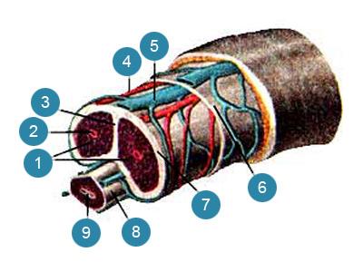 Пещеристые и губчатое тела (corpora cavernosa et corpi spongiosus) полового члена и мужской мочеиспускательный канал (urethra masculina) на поперечном разрезе