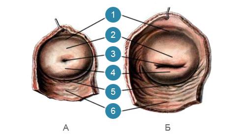 Влагалищная часть шейки матки (portio vaginalis cervicis uteri)