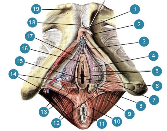 Клитор (clitoris), пещеристые тела клитора (corpora cavernosa clitoridis) и луковицы преддверия (bulbi vestibuli)
