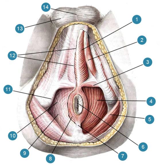 Мышцы и фасции мужской промежности