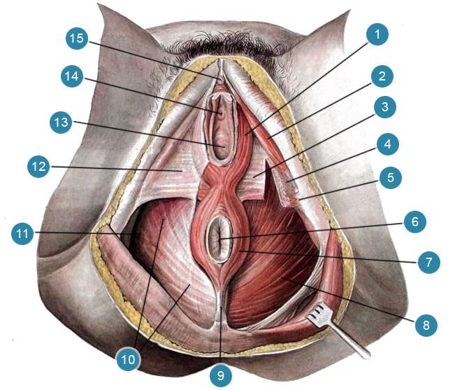 Мышцы и фасции женской промежности